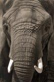 Framsida - till - stående för afrikansk elefant för framsida Royaltyfria Foton