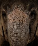 Framsidaasia elefant Arkivbild