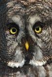 Framsidadetalj av fågeln Detaljstående av den gråa ugglan Specificera framsidaståenden av fågeln, stora apelsinögon och räkningen Arkivbilder