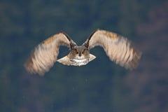 Framsidafluga av ugglan FlygEurasianEagle uggla med öppna vingar med snöflingan i snöig skog under kall vinter Handlingdjurlivsce royaltyfri foto