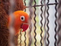 Framsidan av en papegoja med orange och röda fjädrar Arkivfoto