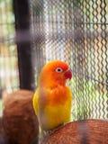 Framsidan av en papegoja med orange och röda fjädrar Fotografering för Bildbyråer