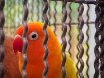 Framsidan av en papegoja med orange och röda fjädrar Royaltyfri Bild