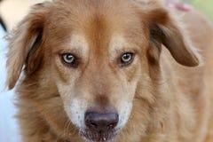 Framsidan av ett slut för gul hund upp royaltyfri foto