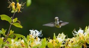 Framsidasikten av en kolibri med den är tungan ut royaltyfria foton
