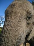 Framsidastam för afrikansk elefant mycket tätt upp Arkivbild