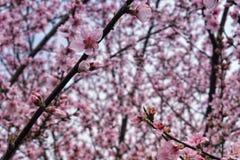 Framtida persikor av Zen Duder royaltyfri foto