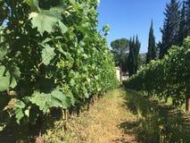 Framtida skörd av en vingård detaljer Arkivfoton