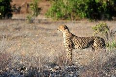 Framtidsutsikt i savannaen Royaltyfria Foton