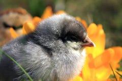 Framträdande blå fågelunge Fotografering för Bildbyråer