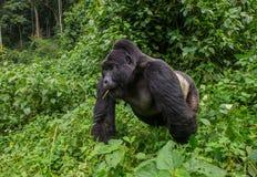 Framträdande manlig berggorilla i gräset uganda Bwindi ogenomträngliga Forest National Park Fotografering för Bildbyråer