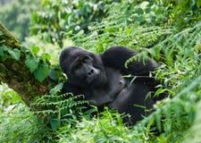 Framträdande manlig berggorilla i gräset uganda Bwindi ogenomträngliga Forest National Park Arkivfoton