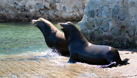 Framträdande manlig Kalifornien sjölejon som bort jagar en annan sjölejon, når att ha slagits på marinafartyglanseringen i Cabo S arkivbilder