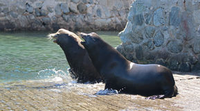 Framträdande manlig Kalifornien sjölejon som bort jagar en annan sjölejon, når att ha slagits på marinafartyglanseringen i Cabo S royaltyfri bild