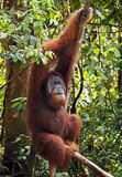 Framträdande manlig orangutang i djunglerna av nordliga Sumatra Fotografering för Bildbyråer