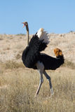 Framträdande ostrich Royaltyfria Foton