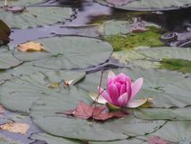 França, Loire Valley, Giverny, jardim do ` s de Claude Monet, lagoa, lírio de água Imagens de Stock