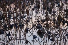 França, Mougin, muitas flores de lótus secadas na lagoa em sóis Fotografia de Stock