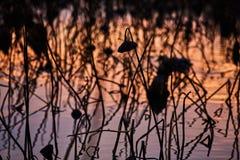 França, Mougin, muitas flores de lótus secadas na lagoa em sóis Foto de Stock Royalty Free