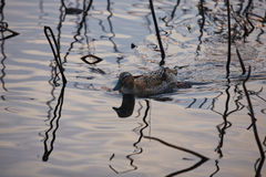 França, Mougin, provence, natação do pato em uma lagoa fotografia de stock