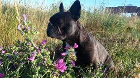 Francés Bulldogg con la flor Imagenes de archivo