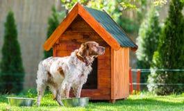 Francês Brittany Spaniel na frente de sua casa de madeira pequena imagem de stock
