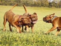Francês Mastim Dogue de Bordéus Fotos de Stock
