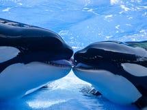 Francês que beija baleias de assassino (orcas) Imagens de Stock