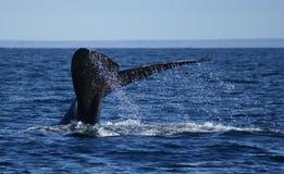 franca脊美鲸 免版税图库摄影