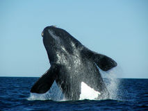 Southern Right Whale jump. A Southern Right Whale big jump showing the white belly. Eubalaena australis stock images