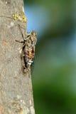 Francais d'insecte de cigale Images stock