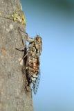 Francais d'insecte de cigale Image libre de droits