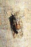 Francais d'insecte de cigale Image stock