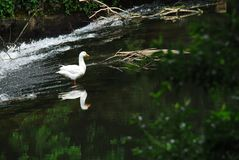 France- A Beautiful White Goose Reflected Near a Waterfall. A white Goose beautifully reflected in the smooth water at the top of a waterfall in the Serein River Stock Images