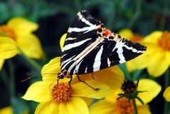 Free France- Black, White And Red Butterfly In Brittany Royalty Free Stock Photos - 129962188
