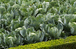 Cabbage in a garden Stock Photography