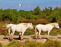 France Camargue horses on the beach Stock Photo