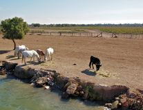France Camargue horses and bulls grazing Royalty Free Stock Images