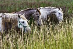 France - Camargue - wild horses. In the swamp royalty free stock photo