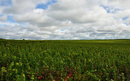 France, champagne grape field. France Champagne region, grapes field landscape Royalty Free Stock Image