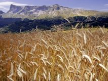 France cornfield devoluy region haute alpes french alps. Farming agriculture mountains stock photography