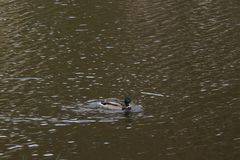France - Elancourt - Bassin de la muette - A duck Mallard, swimming alone. A duck Mallard, swimming alone. He It swims during the day, the time weather did not stock images