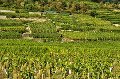 France, famous vineyard of Kaysersberg in Alsace Stock Photography