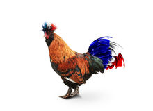 France. French colored rooster with big tai stock image