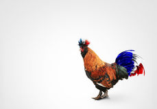 France. French colored rooster with big tai royalty free stock photo