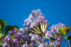 France, Gironde, Bordeaux, Butterfly and lilac. Stock Photos
