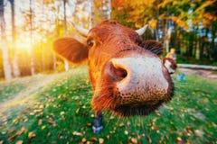 France krowy green trawy Normandia Zdjęcia Stock