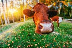 France krowy green trawy Normandia Zdjęcie Royalty Free