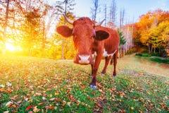 France krowy green trawy Normandia Zdjęcia Royalty Free