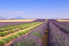 France, landscapes of Provence: Harvest lavender fields. Southern France, landscapes of Provence: Harvest lavender fields Stock Photo